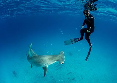 Collin Davis in the water with a great hammerhead shark