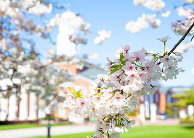 Cherry blossoms in front of Trible library