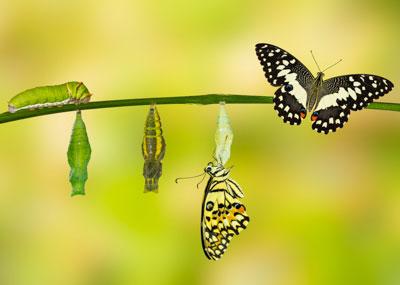 Butterfly metamorphosis