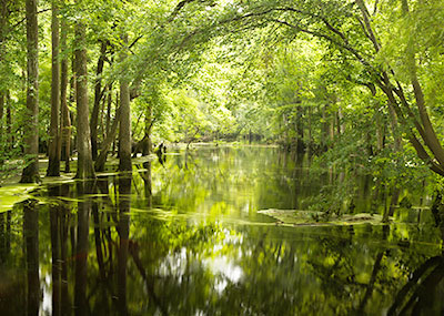Merchants Millpond State Park - freshwater swamp and cypress trees